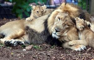 lion-cubs_1489211i